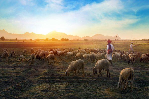 Schafhirte und Schafe
